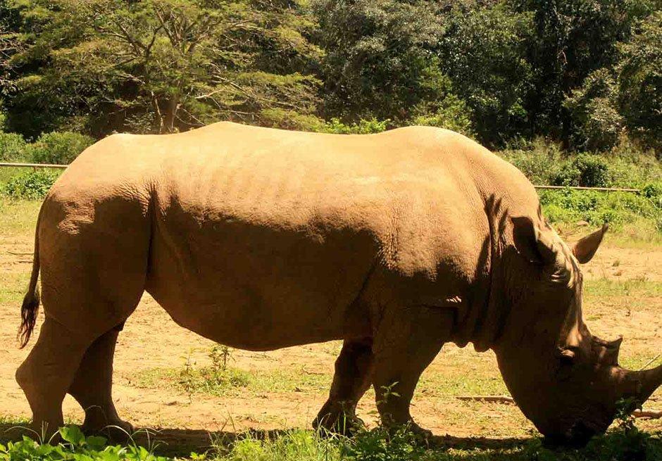 UWEC Zoo - white Rhino