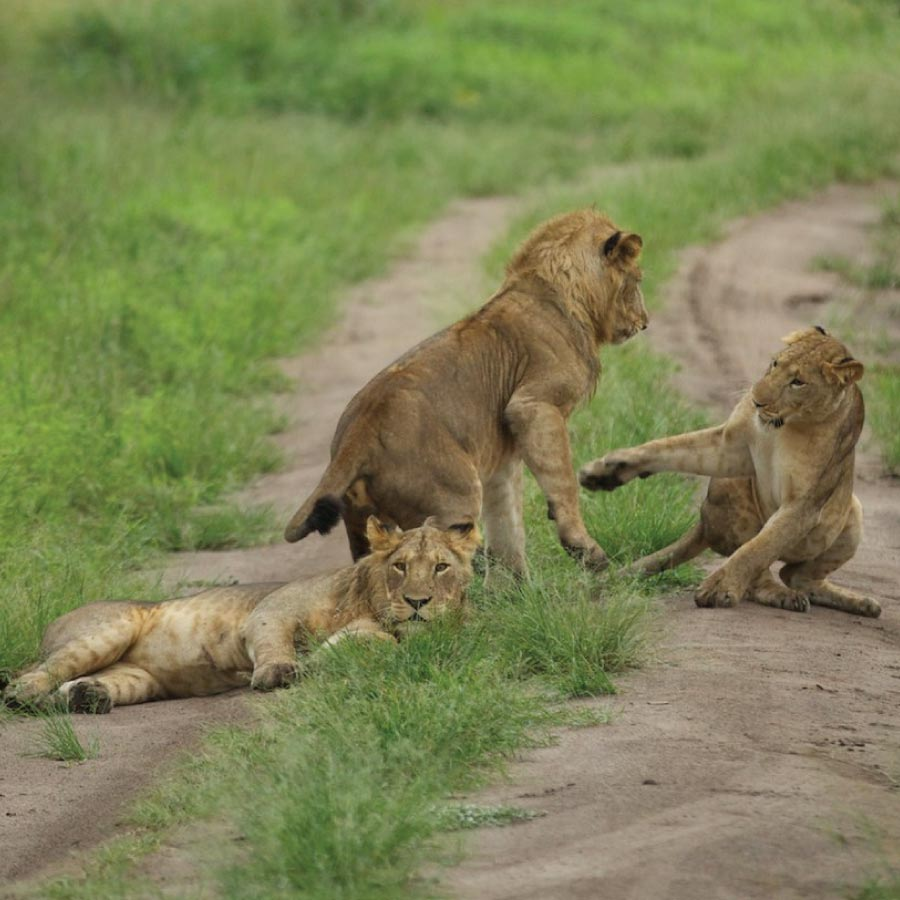 QENP Tree Lions
